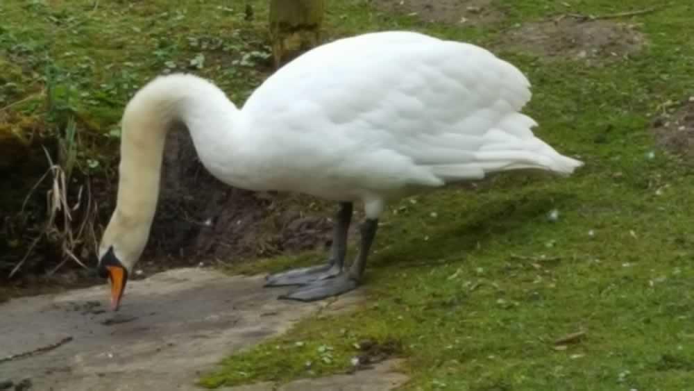swan eating