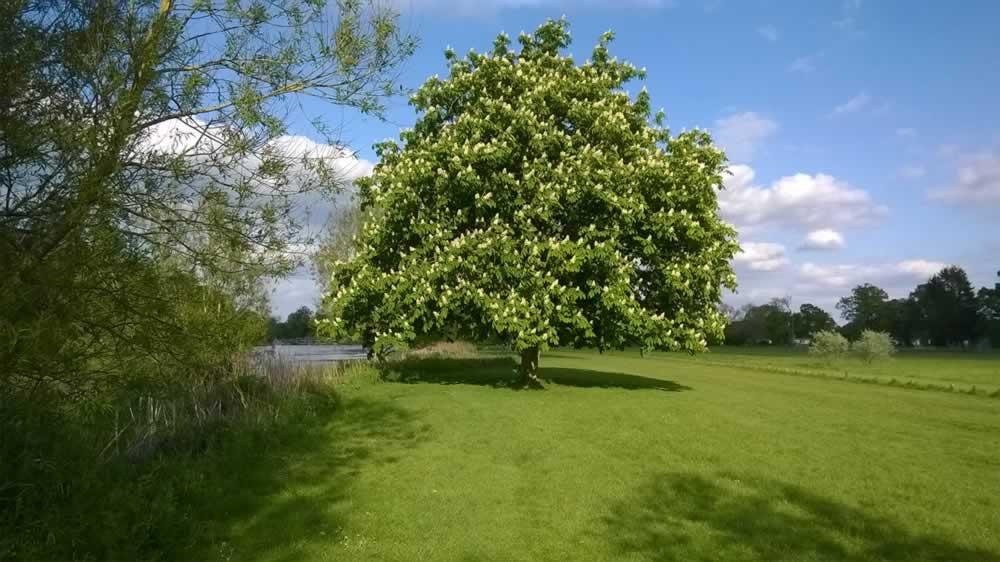 big tree in summer