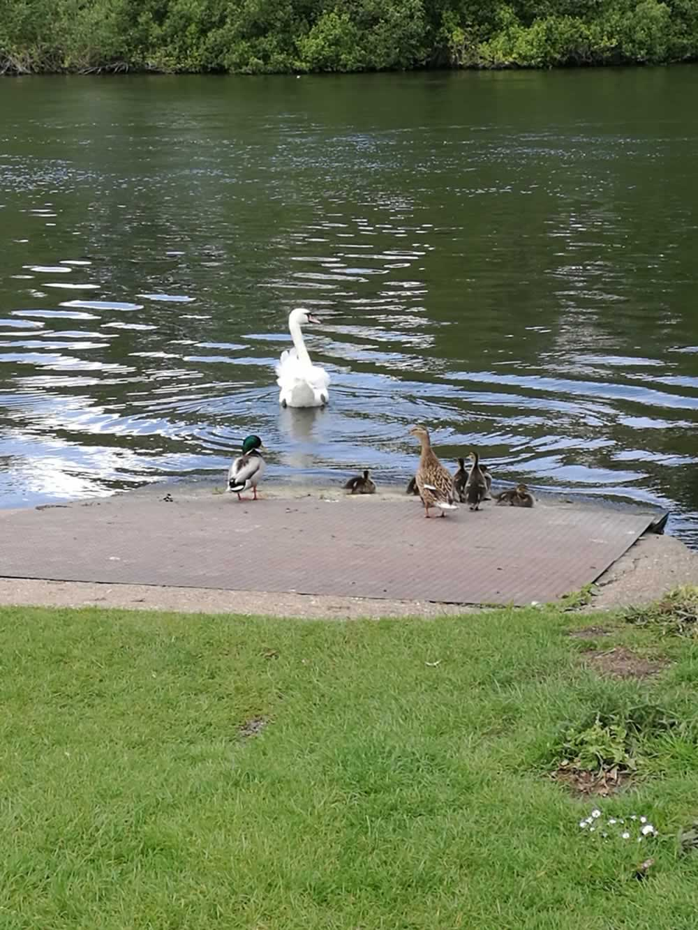 swan in river