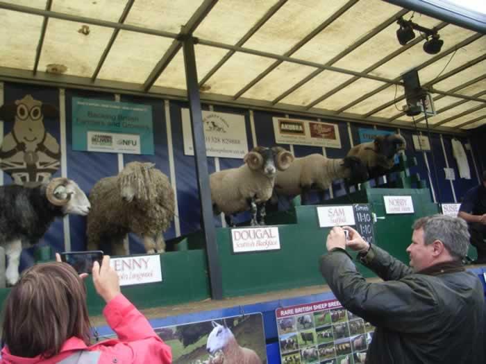 henley sheep show